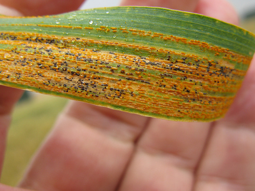 stripe-rust.jpg
